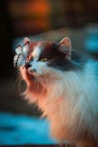 Een zwart-witte kat staart naar de vlinder op z'n neus.